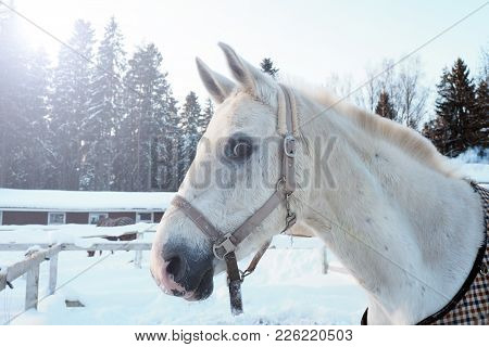 White Horse Head In Winter At Sunset. Beautiful Face Horse Thoroughbred On The Background Of Snowy F