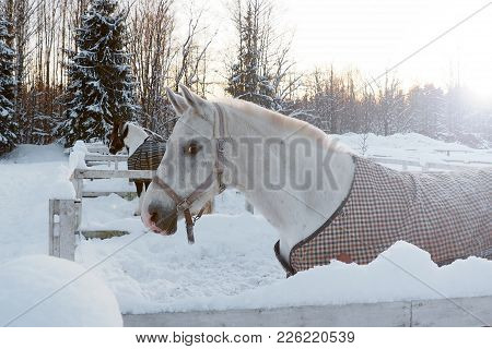 The White Horse In Winter At Sunset. Beautiful Face Horse Thoroughbred On The Background Of Snowy Fo