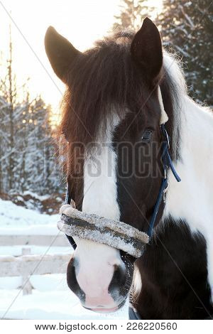 The Head Is Spotted Horse Winter At Sunset. Beautiful Face Horse Thoroughbred On The Background Of S