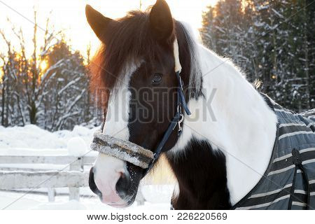 The Head Is Piebald Horse Winter At Sunset. Beautiful Face Horse Thoroughbred On The Background Of S