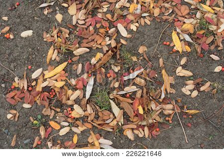 Fallen Leaves And Red Berries Of Rowan On The Ground