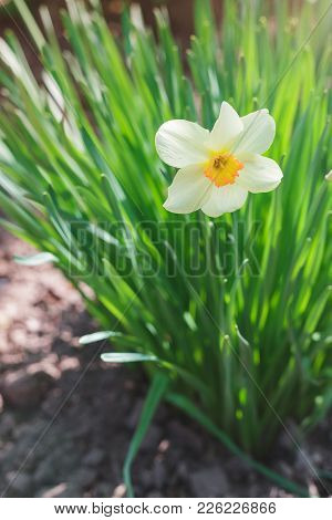 White Narcissus Flower, Narcissus Poeticus, Growing In The Garden