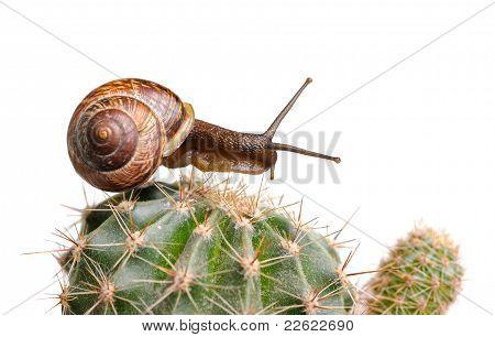Snail On Cactus