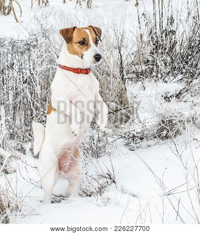 A Curious Dog Jack Russel Terrier Standing On Hind Legs In Snow And Looking Into The Distance. Cute