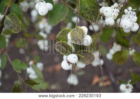 Branch Of Symphoricarpos Albus With White Berries In Autumn