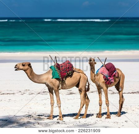 Camel on beautiful tropical beach in Kenya Africa