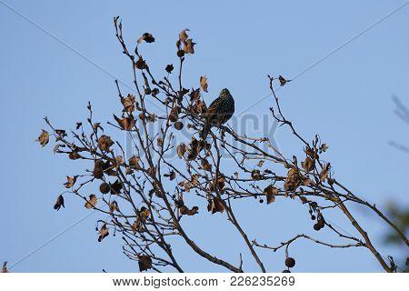 Sturnus Vulgaris Bird