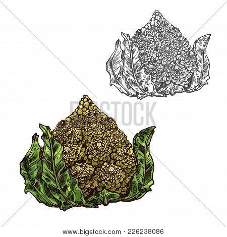 Romanesco Cabbage Sketch Icon. Vector Isolated Symbol Of Fresh Farm Grown Vegetarian Romanesco Brocc