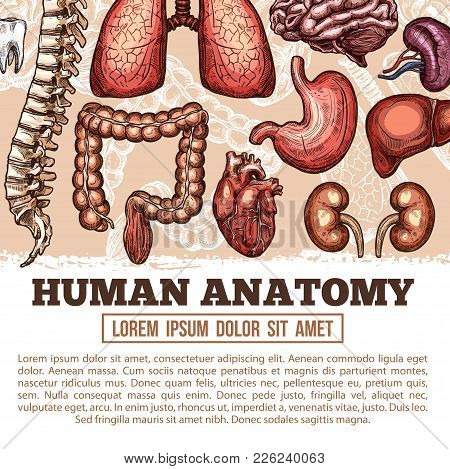Human Anatomy Medical Poster Of Sketch Body Organs And Joint Bones. Vector Design Of Digestive, Card