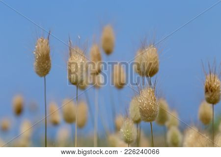 Texture. Dry Spikelets Grow In The Field On The Background Blue Sky
