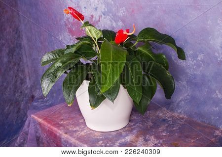 Anthuria / Rose Anthurium / A Beautiful Indoor Flower Is On The Table