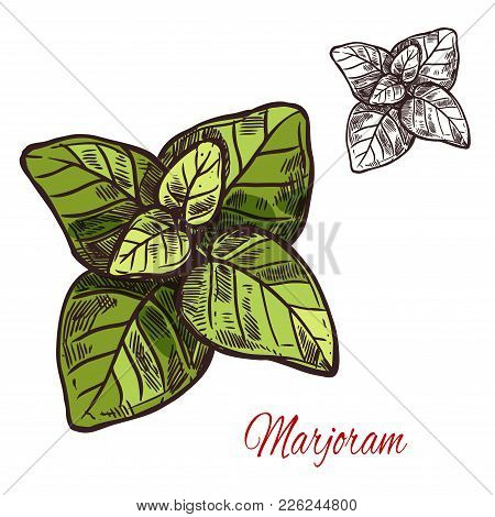 Marjoram Seasoning Spice Herb Sketch Icon. Vector Isolated Marjoram Leaf Herb Plant For Culinary Cui