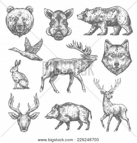 Wild Animals Sketch Icons Of Grizzly Bear, Aper Hog Or Boar And Elk, Rabbit Hare Or Duck And Wolf Or