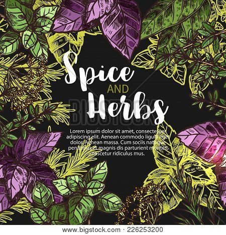 Herbs And Spices Sketch Poster Of Rosemary, Basil Or Chili Pepper And Anise Or Oregano. Vector Cooki