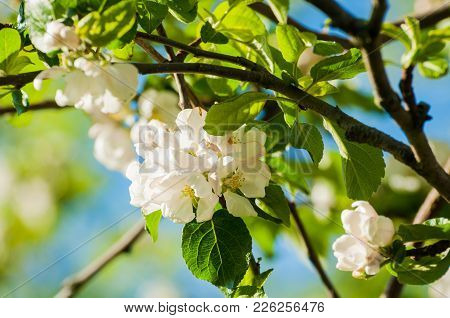 Spring Flowers Of Blooming Apple Tree. Natural Spring Flower Landscape In Soft Tones. Colorful Sprin