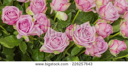 Puple Weding Rose, Cool Water Species, Decorative In Wedding Party.