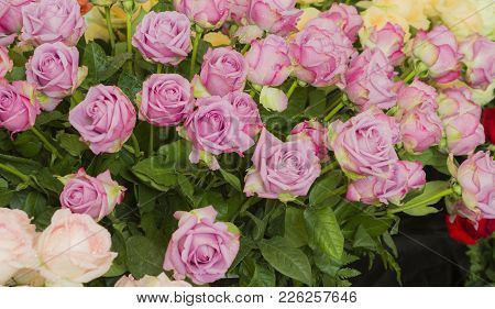 Puple Weding Rose, Decorative In Wedding Party.