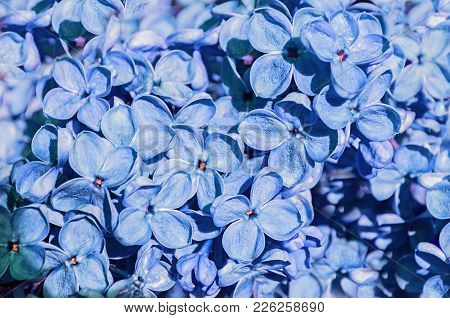 Lilac Blue Spring Flowers, Spring Floral Background With Lilac Flowers Blooming In The Spring Garden