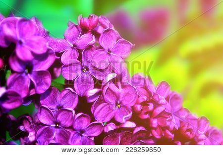 Lilac Flowers In Sunny Spring Garden, Spring Flower Background. Selective Focus At The Spring Lilac