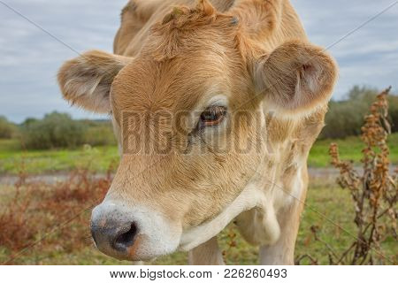 Calf Face , Selective Focus. Young Cow Portrait