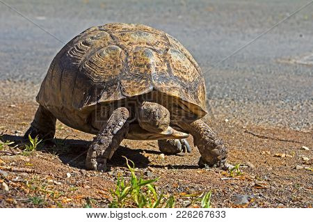 Large Leopard Tortoise Walking In The Karoo National Park, South Africa