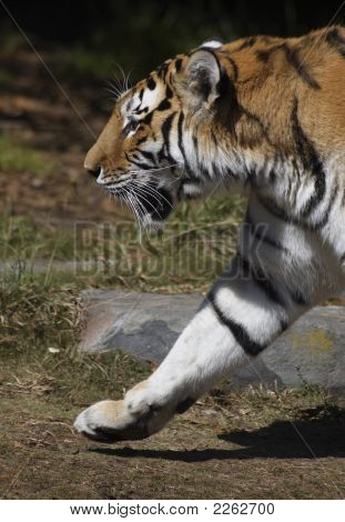 Siberian Tiger Marches