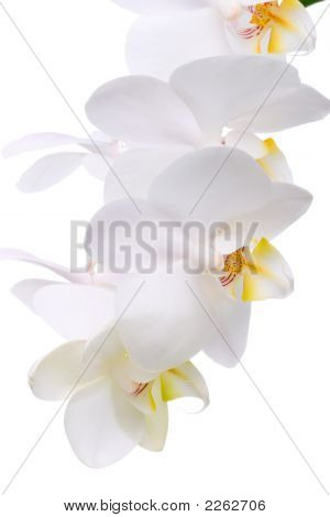 Orchid Flowers On White