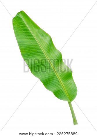 Tropical Plant, Banana Leaf Isolated On White Background, File Contains A Clipping Path.