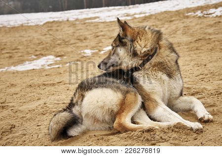 The Hunting Dog Looks Out For Its Prey. The Dog Lies On A Sandy Slope