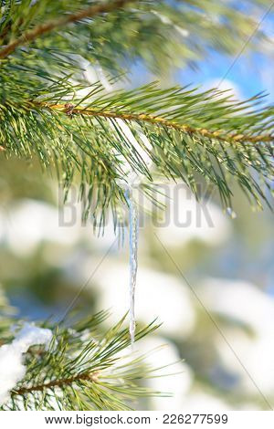 Snow-covered Pine Branch with Icicle on the Clear Blue Sky Background at Sunny Warm Spring Day