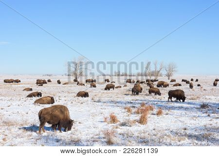 American Bison On The Colorado Plains - Waking Up On A Cold Winter Morning.