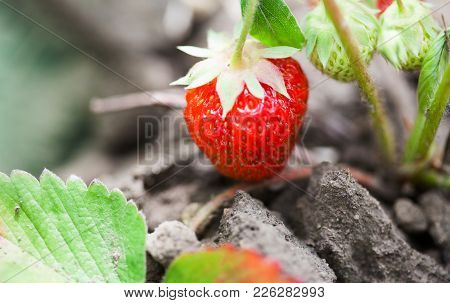 Growing Strawberries In Garden. Raw Red Berry Macro View. Shallow Depth Of Field, Soft Focus