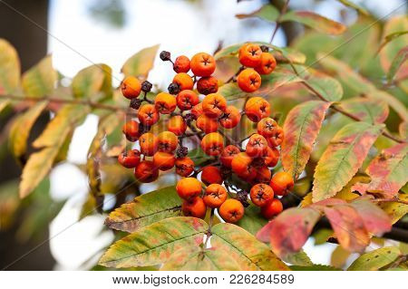 Autumn Colors Concept. Bright Colorful Mountain Ash Rowan Berries. Soft Focus Blurred Background Pho