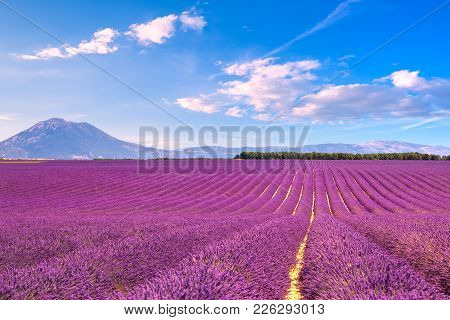 Lavender Flowers Blooming Scented Fields In Endless Rows. Landscape In Valensole Plateau, Provence,