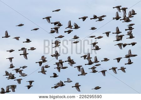 Flock Of Wild Sparrow. Passer Montanus. Flock Of Wild Sparrow.