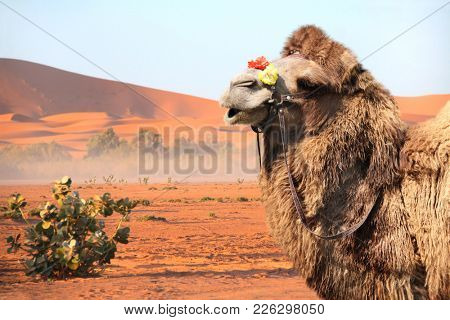 Bactrian camel (Camelus bactrianus) in Sahara desert, Morocco. One camel close up, sand dunes on blue sky background
