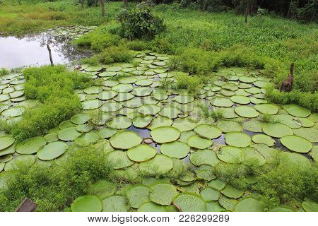 Giant Lily Pads In The Amazon, Brazil