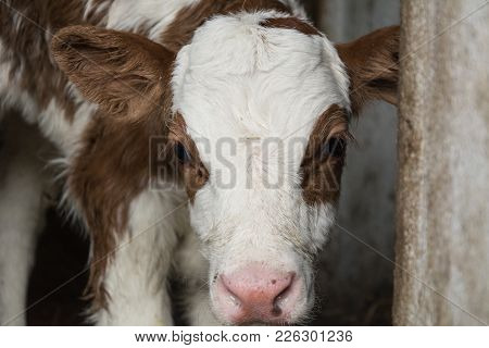 A Young Calf With White Spots With Red Spots Looks Out Of The Pen