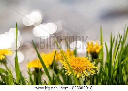 Yellow Dandelions On The Lake Shore.