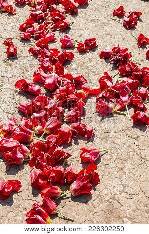 Tulip Red Buds On Soil After Harvest.