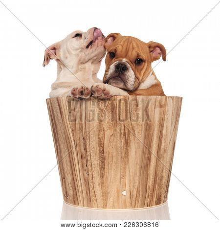 eager english bulldog puppy licks its nose near brother inside wooden bucket on white background