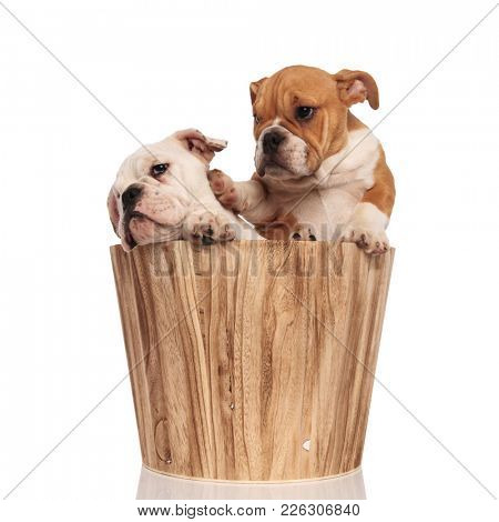 brown english bulldog puppy pushes its brother away with its paw while sitiing in a wooden barrel on white backrgound