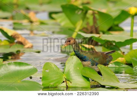 A Female Purple Gallinule Hopping From Lilypad To Lillypad Trying To Catch Its Dinner At The Evergla