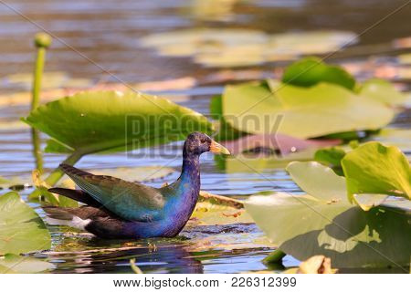A Male Purple Gallinule Hopping From Lilypad To Lillypad Trying To Catch Its Dinner At The Everglade