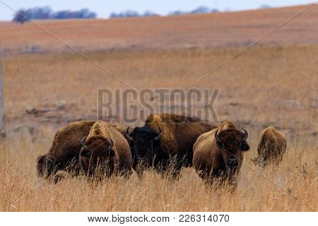 A Small Herd Of Bison Graze Below A Rolling Hill In The Tallgras Prairie Preserve In Pawhuska, Oklah