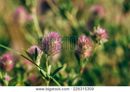 Fluffy Flower Of Hare's-foot Clover