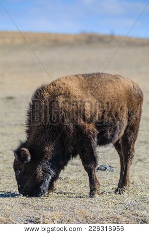 A Young American Bison Calf Finds Little Food In The Tallgrass Prairie Preserve In Pawhuska, Oklahom
