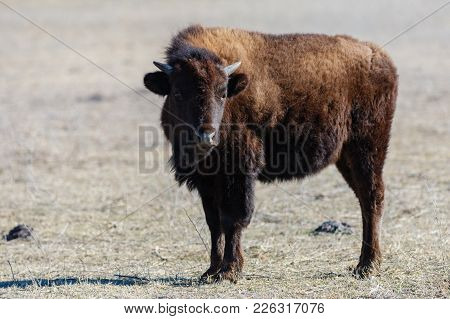 A Young American Bison Stands In The Short Grass At The Tallgrass Prairie Preserve In Pawhuska, Okla