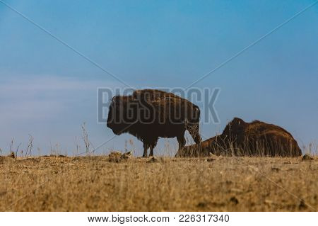Bison On Top Of A Small Hill As Dust Blows Through The Area In The Tallgrass Prairie Preserve In Paw
