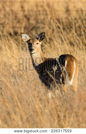 White-tailed Deer Looking Back In The Tallgrass Prairie Preserve In Pawhuska, Oklahoma
